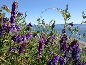 Flowers on Whidbey Island