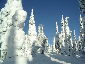 snow-covered_fir_trees